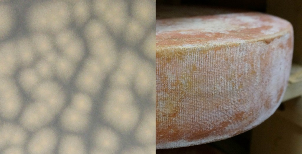 Colonies of Fusarium domesticum growing on plate count agar in the lab (left). Characteristic white frostiness of the same mold growing on a washed rind cheese aged by the Cellars at Jasper Hill.