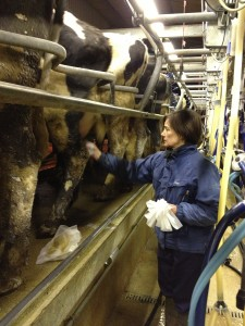Preparing cows for milking in Hampshire
