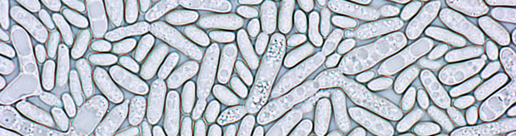 Rhodosporidium_header cropped