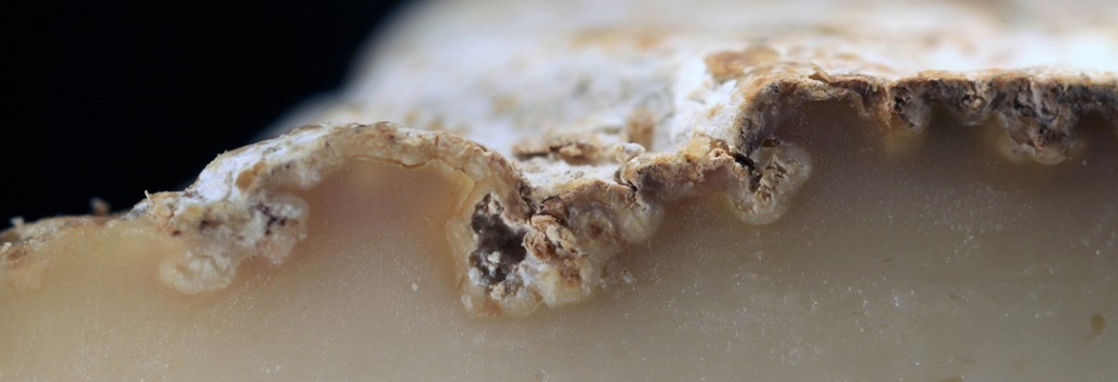 Typical dimples or divots caused by the grown of Scopulariopsis on the surface of a natural rind cheese. Left unchecked, the fungus can bore into the paste of the cheese causing discoloration and allowing for the proliferation of cheese mites.