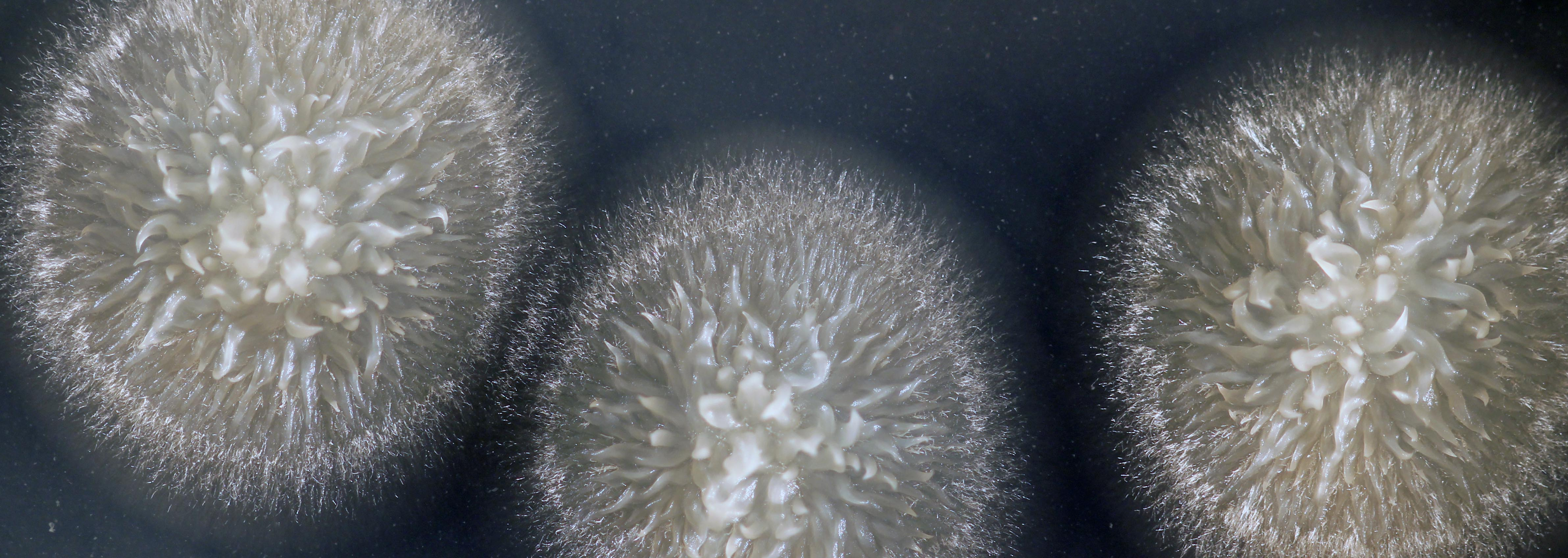 Geotrichum candidum: A yeast holding on to its moldy past