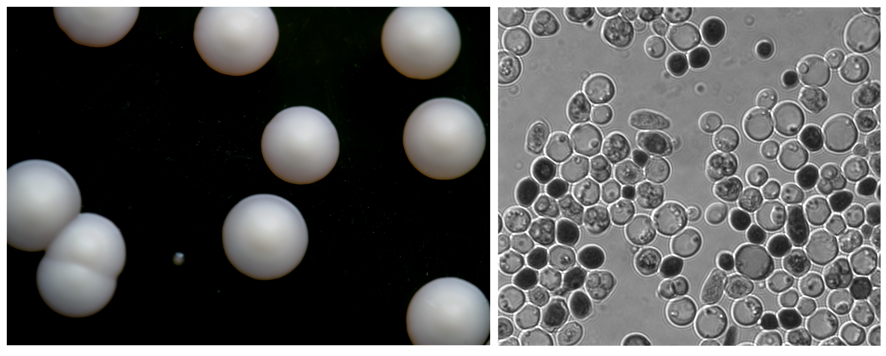 Left: S. bayanus  growing as colonies.  The tiny shiny colony is a bacterial species that snuck onto the yeast plate.   Right: S. bayanus cells at magnification.