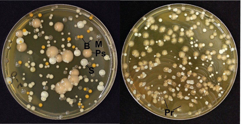 Petri dishes showing colonies from normal orange rinds (left) and rinds with purple rind defect (right)