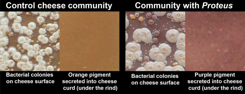Experimental cheese communities demonstrated that Proteus causes purple rind defect.