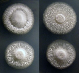 Figure 2. Geotrichum candidum colonies can be fluffy and mold-like (Left), or flat and yeast-like (Right). Images by Benjamin Wolfe.