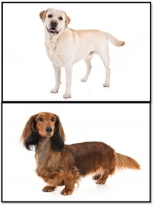 Figure 3.  Dog breeds like Labrador Retrievers (Top) and Dachshunds (Bottom) can be thought of as two strains of the same species. Images from the American Kennel Club.